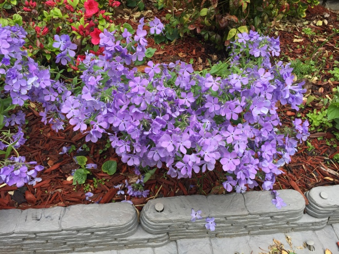 This photo depicts a bunch of blue moon phlox, a purple-blue flower, blooming in a flower bed
